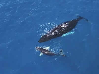 A Humpback Whale's Motherly Love: An Aerial Point of View