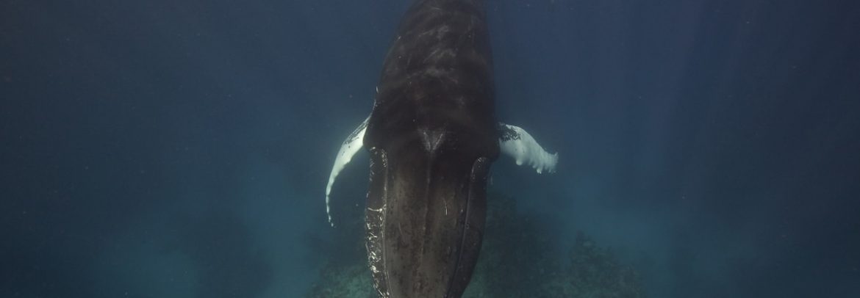 A male humpback whale