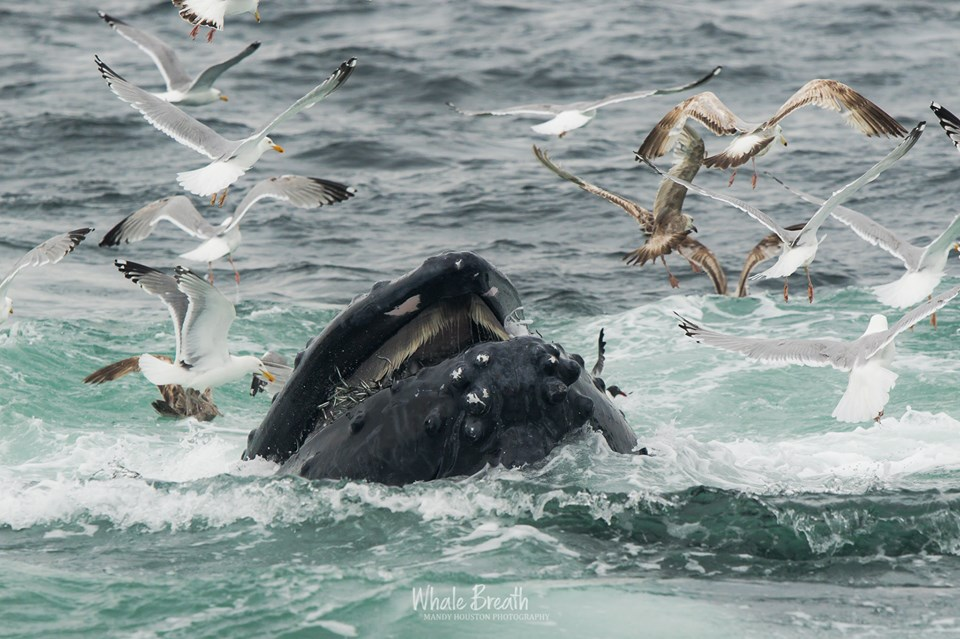 What Do Humpback Whales Eat? Part 2: Sand Lance