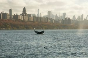 A humpback whale flukes up beneath the skyline of New York City