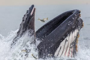 A humpback whale feeds on menhaden