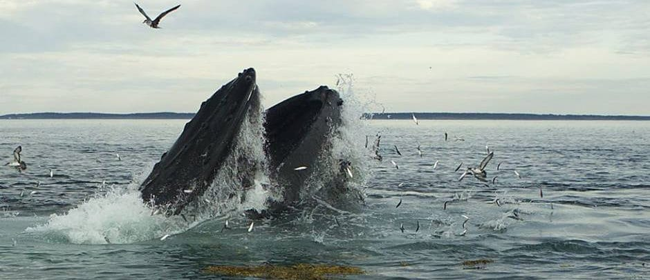 A humpback whale lunge feeding on herring in the Bay of Fundy