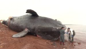 Right whale killed by ship strike, 2019