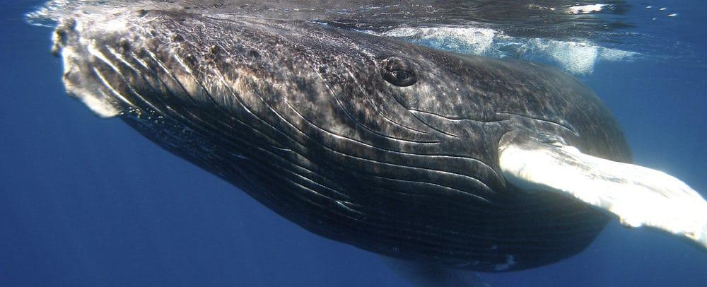 A Playful humpback whale calf