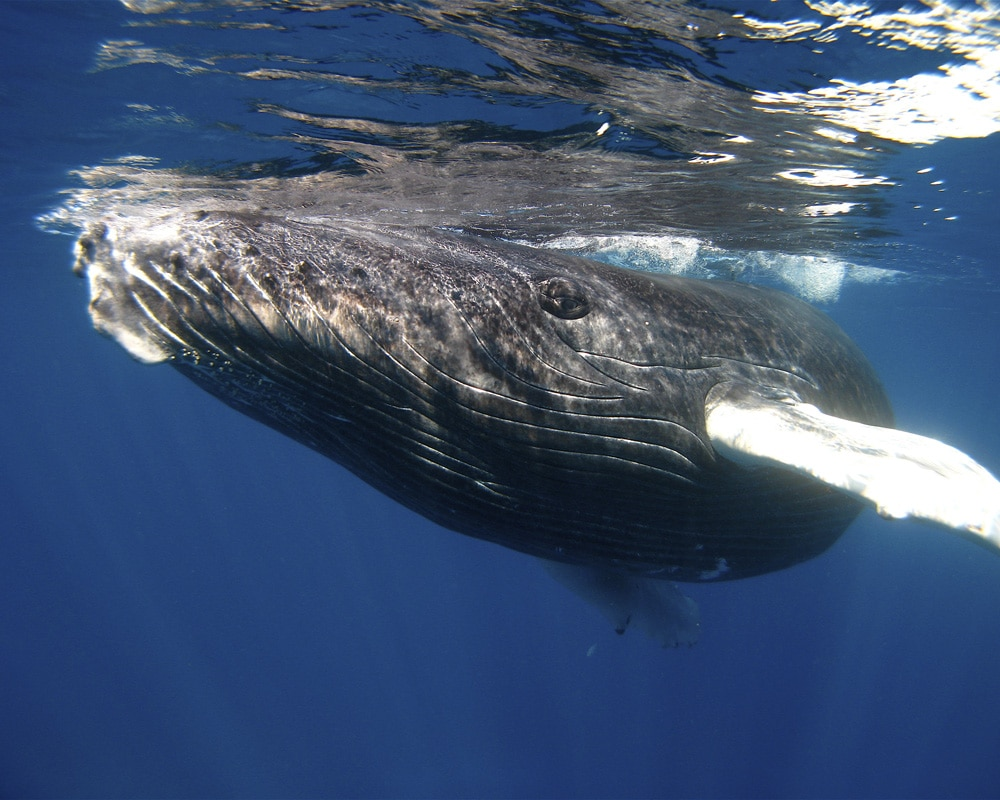 A Baby Humpback Whale's New Tricks