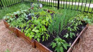"""Square-foot"" gardens are one way to grow a lot in a small space"