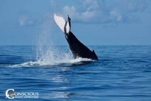 Lobtailing humpback whale
