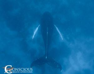 A singing humpback whale