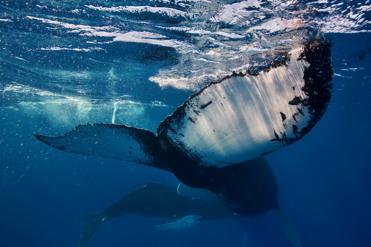 Swim with Whales: A Silver Bank Humpback Whale Dance Party